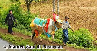 Manten Sapi di Pasuruan merupakan salah satu tradisi unik di Indonesia saat merayakan Idul Adha