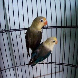 Cara Menjodohkan Dan Mengkawinkan Lovebird Dengan Cepat