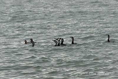 ウミウ ≪Temminck's Cormorant≫ シノリガモ ≪Harlequin Duck≫