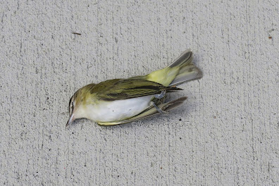 This photo is of a bird who died on the sidewalk  near 115 CPW in NYC. His/her death was probsbly the result of a window crash..