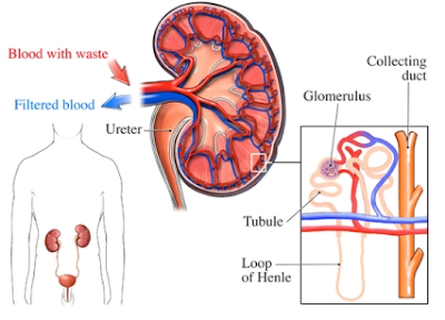 treatment of glomerulonephritis