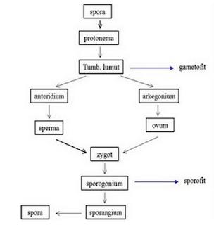 Tumbuhan tidak Berpembuluh: Lumut (Bryophyta)