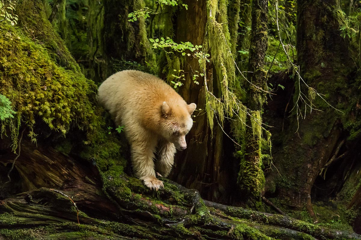 Kermode Bear Also Known As The Spirit Nature
