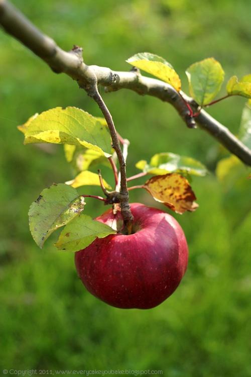 paj jabłkowy