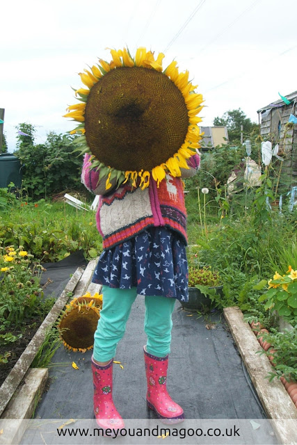 little girl holds up enormous sunflower that covers her whole face with allotment plot in background