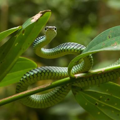 loài rắn bay lượn