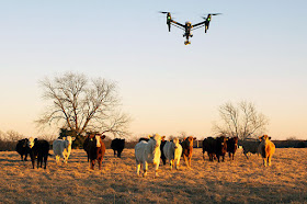 Cow Herder Use Drones to Collect Livestock