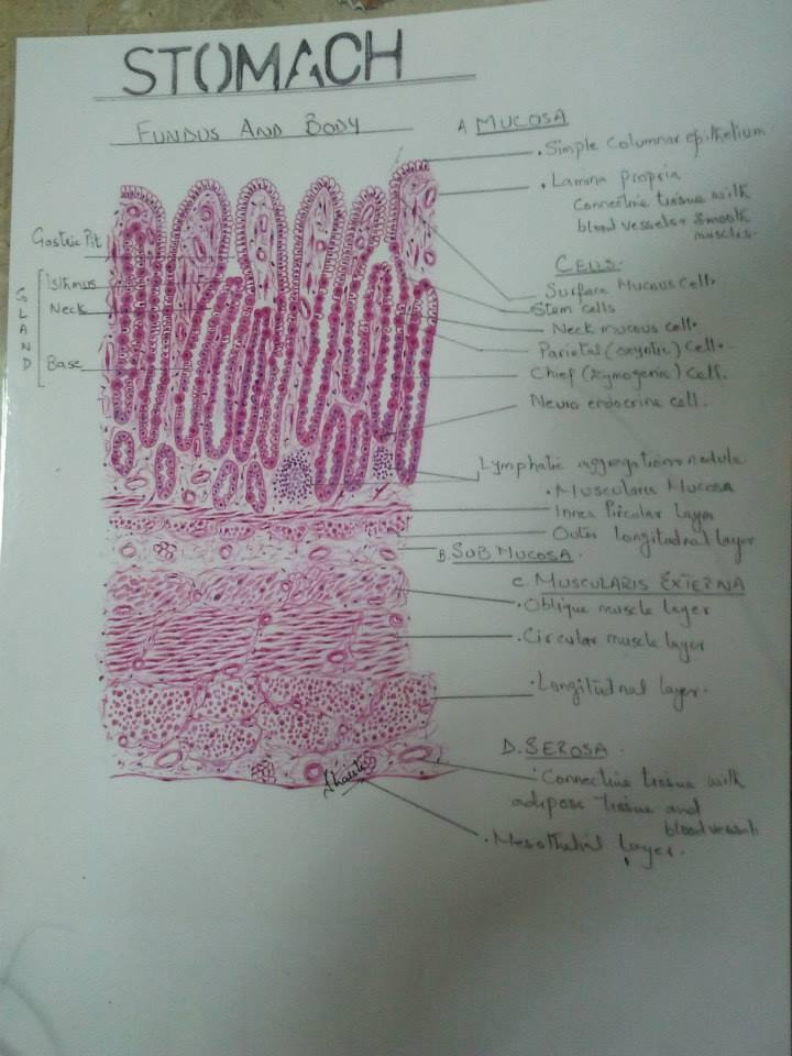Histology Handmade Diagrams Cards For 2nd Year Mbbs