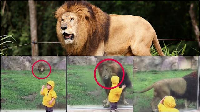 طفل بمنتهى البراءة يلعب أمام مخلوق بمنتهى الوحشية. أسد جائع يهجم على طفل في عامه الثاني والنتيجة؟