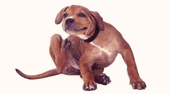 Dog Mange Home Remedy