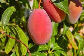mango-tree-&-fruits