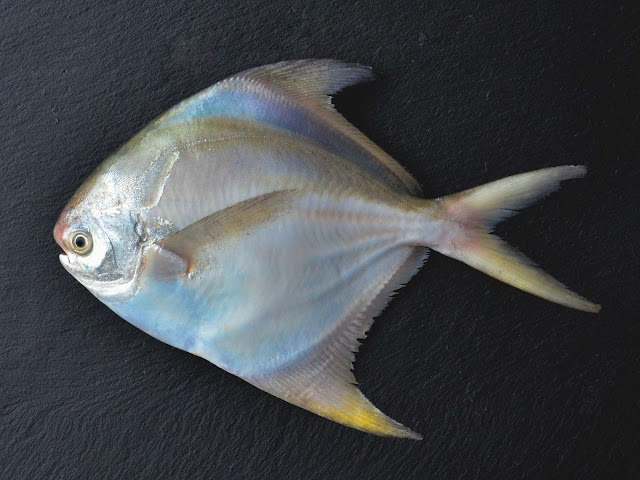 Pertimbangan Supplier Jual Ikan Bawal Bibit & Konsumsi Manado, Sulawesi Utara