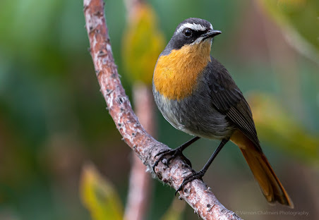 Cape Robin-Chat -  Kirstenbosch National Botanical Garden Bird Species Index