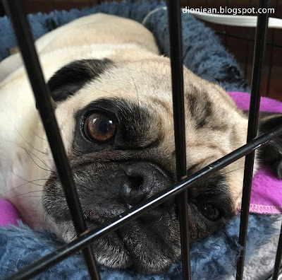 Liam the pug in his crate