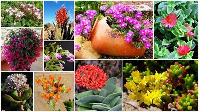 8 Παχύφυτα με εντυπωσιακά Λουλούδια