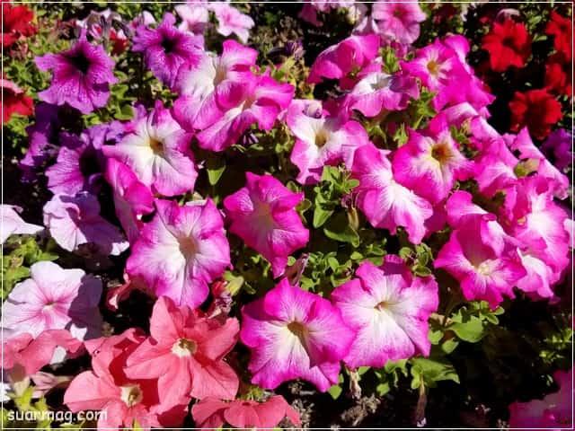 صور ورد - خلفيات ورد 9 | Flowers Photos - Roses wallpapers 9