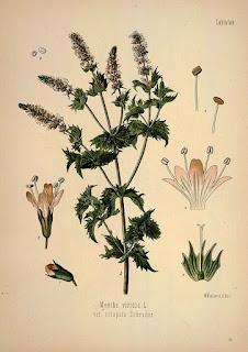 ilustración científica de mentha viridis