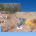Jumento mata homem a mordidas no sítio Pedra Petra, zona rural do município de Currais Novos-RN
