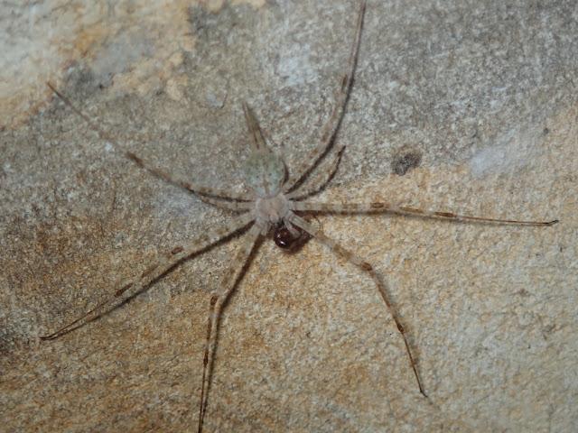 Hersilia baliensis