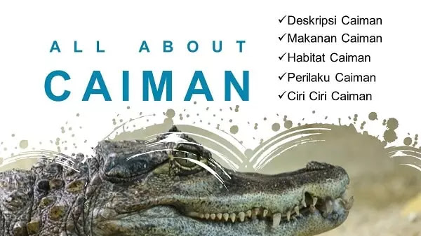 Informasi lengkap Caiman