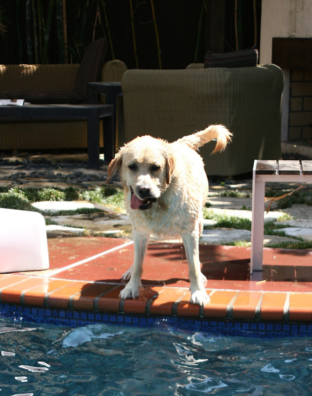 Wet pool labrador