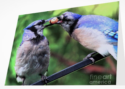 This is a screen shot of a card which I'm selling on Fine Art America. It features two very amorous Blue jays. Info re this card is @ https://fineartamerica.com/featured/blue-jays-wooing-2-patricia-youngquist.html?product=greeting-card