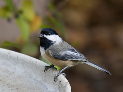 Photo of a Black-capped Chickadee at a bird bath