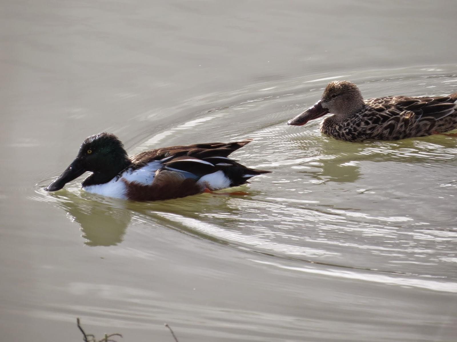 northern shovelers at the Palo Alto Baylands