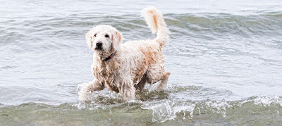 F1 labradoodle Temperament, Size, Lifespan, Adoption