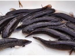 Cách khắc phục cá bớp bị mòn vây, thân chuyển màu sẫm, mắt lồi