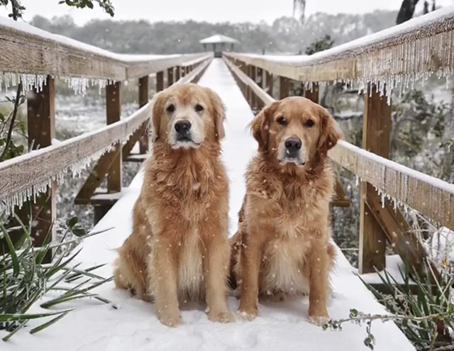 Golden Retrievers Snow