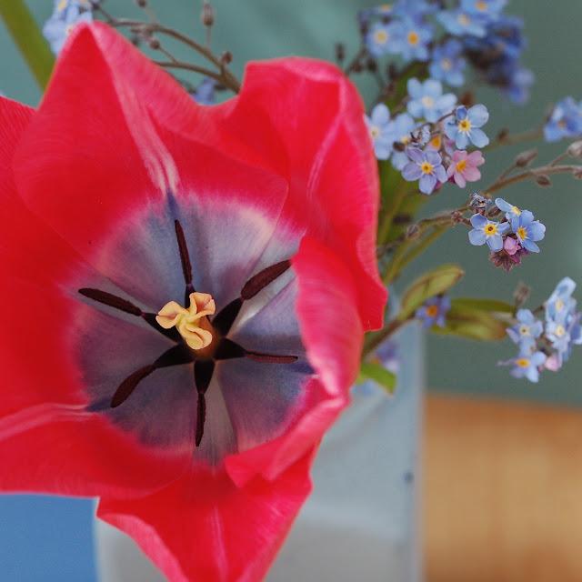 tulipa wonderful