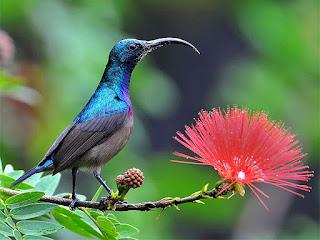 burung kolibri dan burung madu