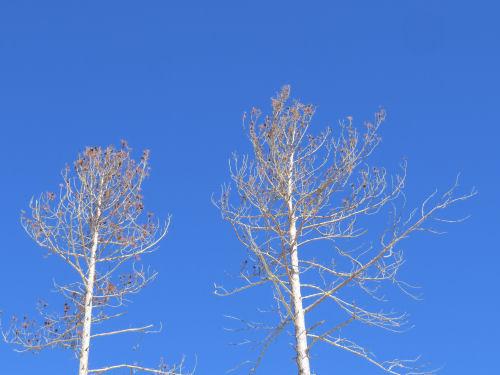 blue sky behind pines