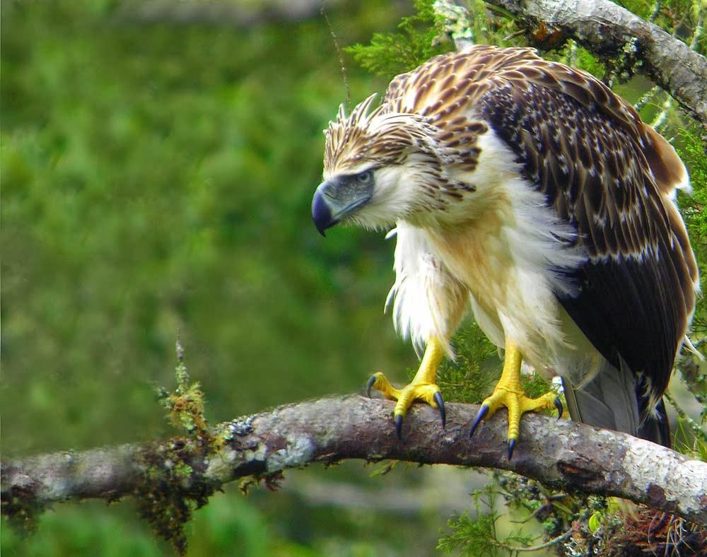 National Auto Care >> Rules of the Jungle: Philippine Eagle