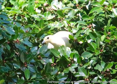 White pigeon in Waigeo island