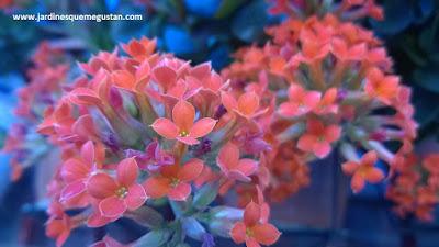 Flor de Kalanchoe