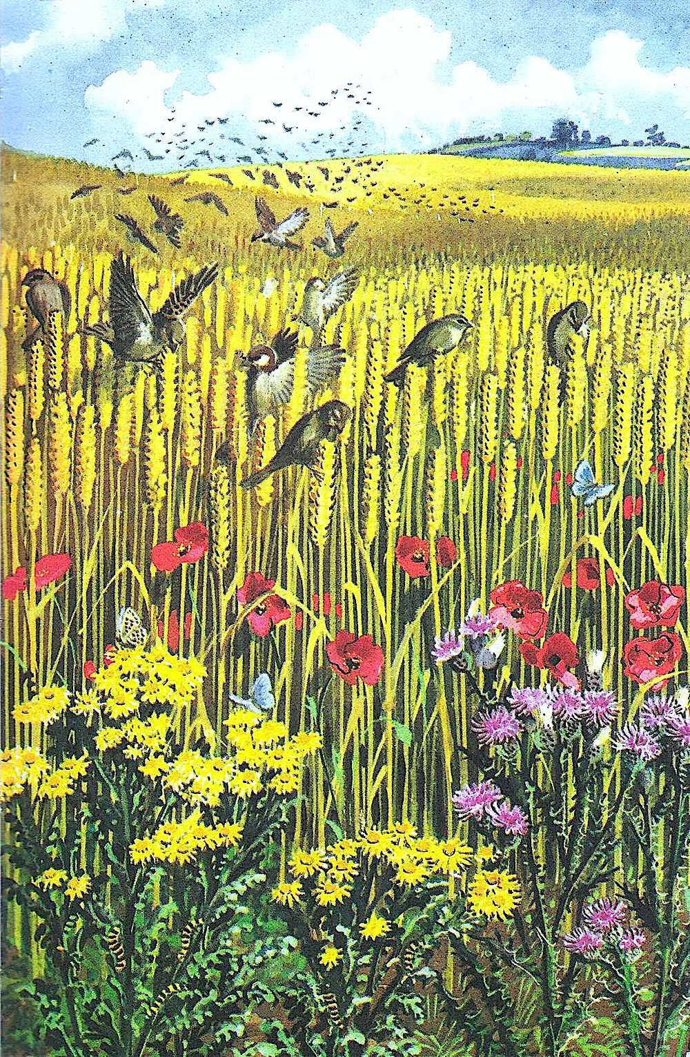 a Charles F. Tunnicliffe illustration of birds in a wheat field