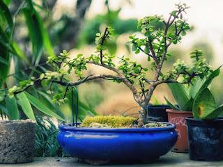 mengatasi-jamur-pada-bonsai.jpg