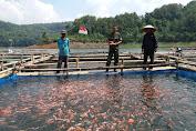 Budidaya Ikan Tawar Sumber  Mata Pencaharian Warga Sempor