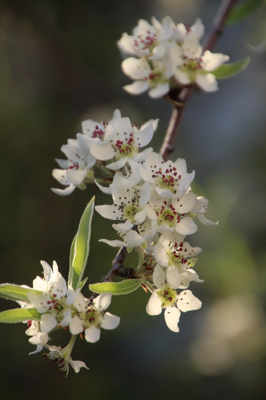 Silverpäron Pyrus salicifolia 'Pendula'