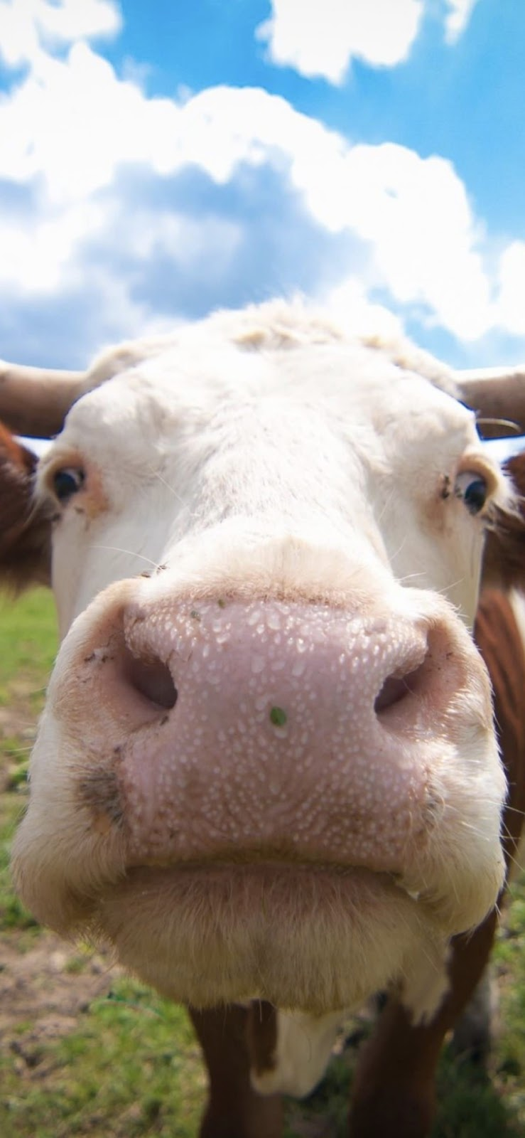 Wallpaper, sfondi iPhone, mucca, divertente, animali