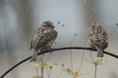 "This photo features two young female house sparrows perched on a bracket that supports a feeder in my garden. Wet snow is falling lightly.  A web-page (@ https://www.thespruce.com/house-sparrow-387273) for this bird type describes this bird type by saying, ""Male and female house sparrows look distinctly different. Males have a black chin and bib, white cheeks, and a rust-colored cap and nape of neck. The black on the chin and breast can vary widely, with older, more dominant males showing more extensive black. The underparts are pale grayish, and the back and wings show brown and black streaking. The rump is gray. Males also have a single white wing bar. Females are plainer, with a broad buff eyebrow and brown and buff streaks on the wings and back. On both genders, the legs and feet are pale and the eyes are dark. Overall, both males and females have a stocky appearance. Juveniles resemble adult females but with less distinctive markings and a less defined eyebrow.""  House sparrows are featured in my book series, ""Words In Our Beak."" Info re my books is in another post on my blog @  https://www.thelastleafgardener.com/2018/10/one-sheet-book-series-info.html"