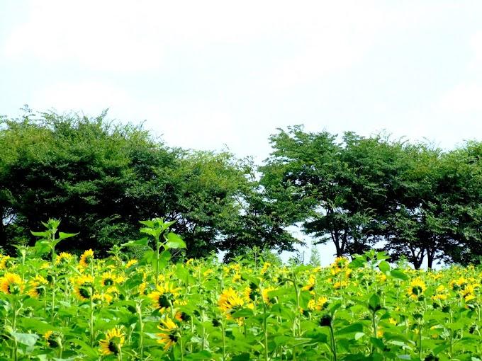 156 #ヒマワリ #花 #向日葵 #黄色