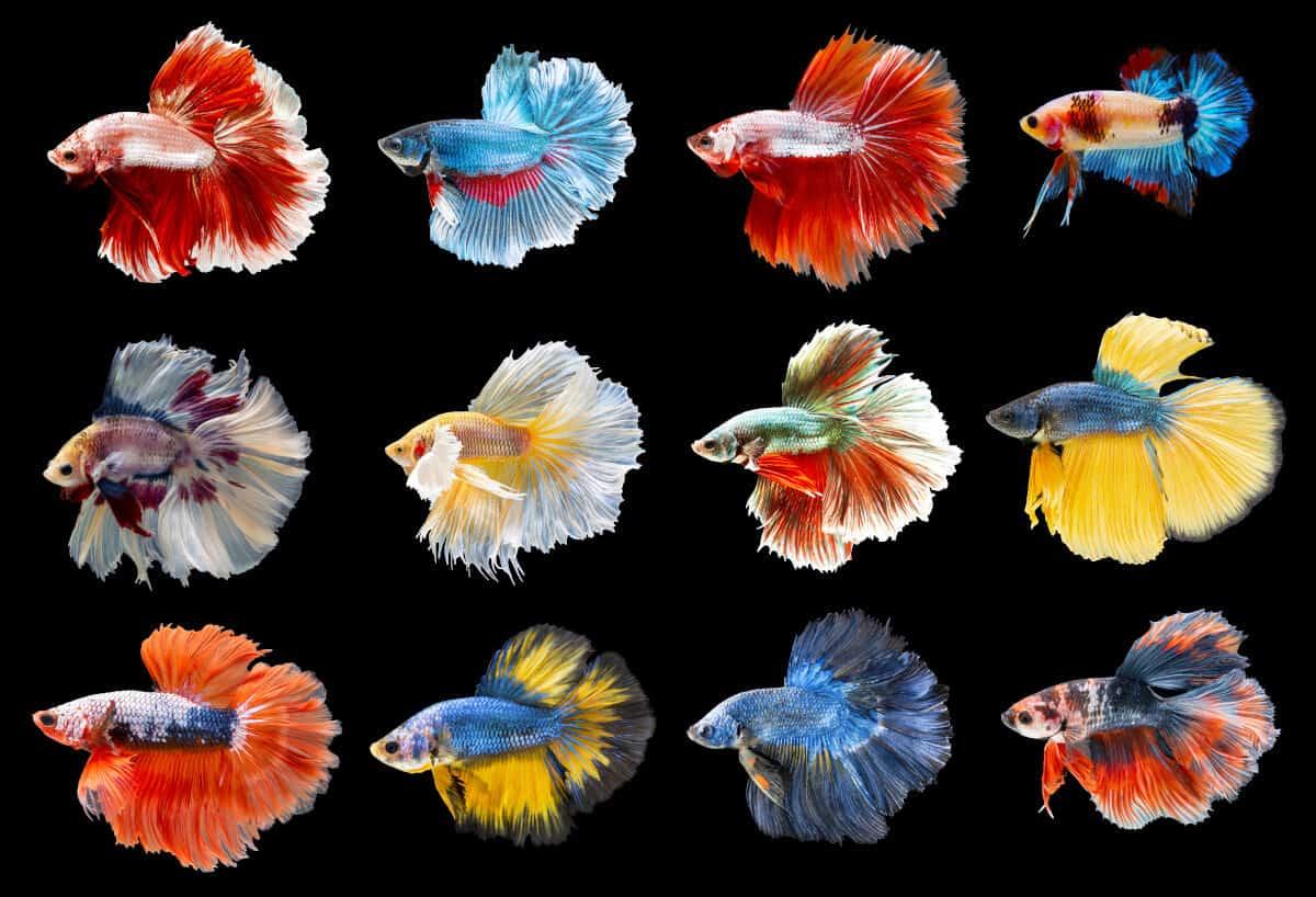 Jenis-Jenis Ikan Cupang - Ikanhiasku.net