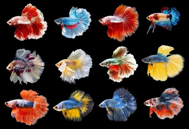47 Jenis Ikan Cupang Terlengkap Berdasarkan Bentuk Ekor, Pola, dan Warna