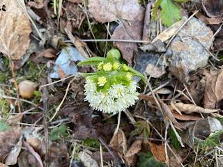 [Asteraceae] Petasites albus – White Butterbur {Farfaraccio bianco}