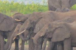 Pemerintah Zimbabwe Curigai Bakteri Sebagai Penyebab Kematian 30 Ekor Gajah