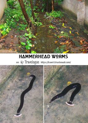 Land Planarians Hammerhead worm