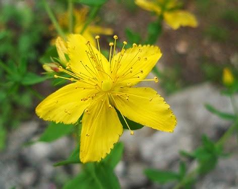 Flor del Hypericum perforatum amarilla
